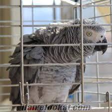 Jako papağan bakımı