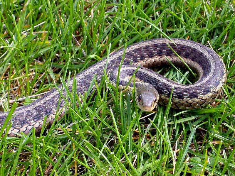 Positive reporting how to get rid of snakes Garden snakes in texas