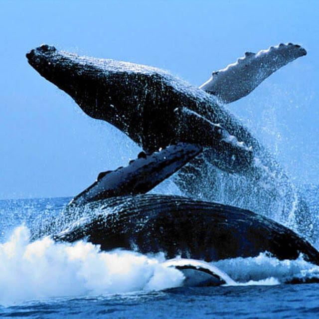 foto-foto ikan paus