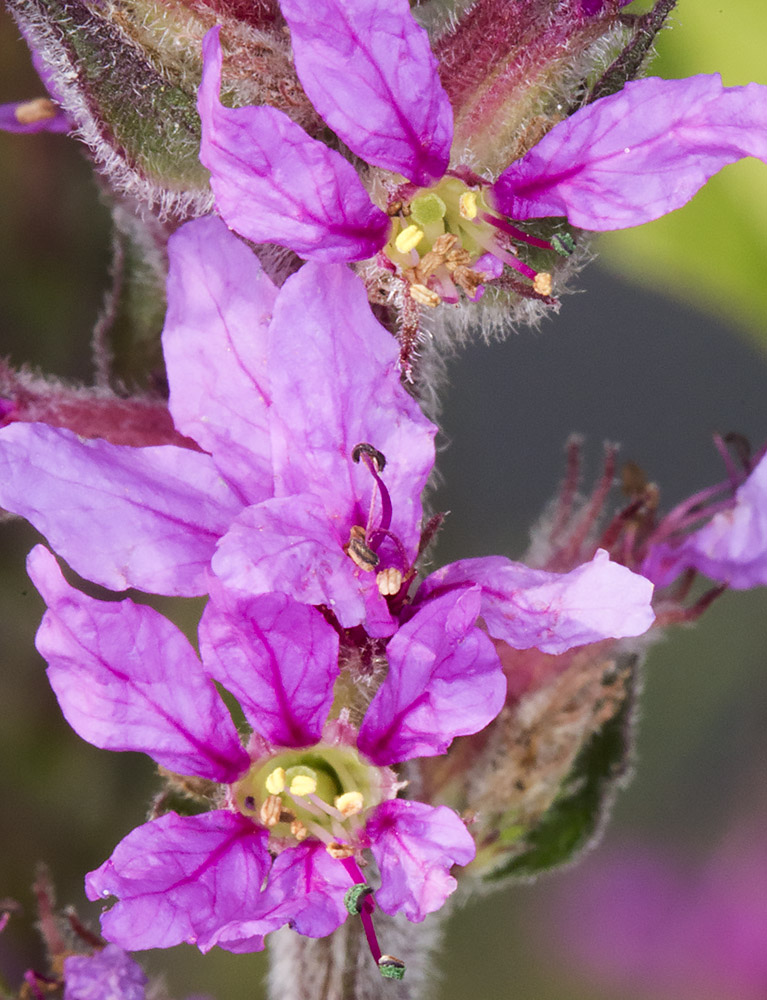 Purple Loosestrife, Lythrum salicaria.   Short stigma.  On the River Medway near Hartlake Bridge, 25 July 2014.