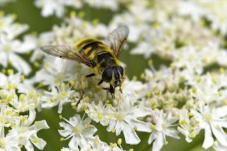 Para ampliar Myathropa florea (Linnaeus, 1758) hacer clic