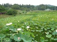 減反で田んぼが使われなくなり留が森区域の農家がハスの花を植えた