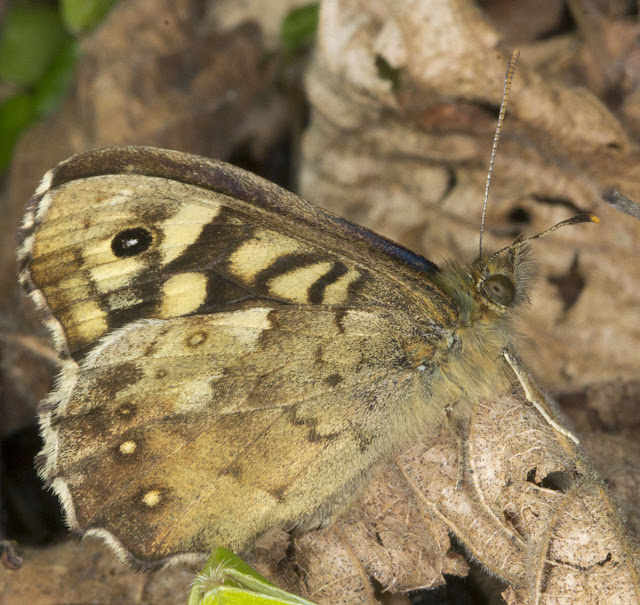 Speckled Wood, Pararge aegeria.  One Tree Hill, 27 April 2012.