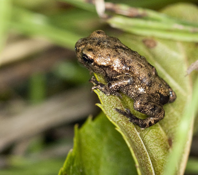 Young common frog, Rana temporaria.  One of many heading towards the lake.  Hayes Street Farm, 13 June 2011.