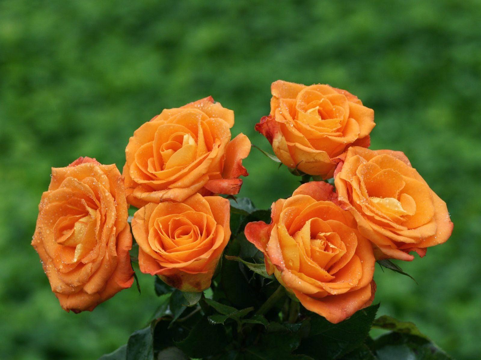 Sensaciones: ¿Cuál es el significado del color de las rosas?