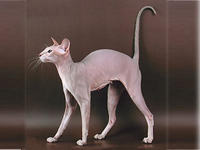 Gambar-kucing-Peterbald