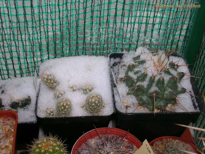 Storie del cactus: Freddo e gelo: test di resistenza del cactus