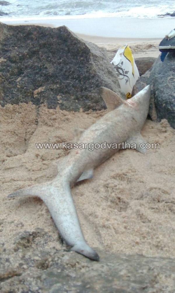 Kasaragod, Kerala, Melparamba, Shark, Chembirika, Sea, Seamen, Fish, Shark harvest in Chembirika.