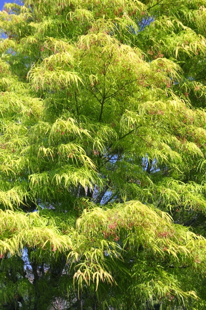 Flora Wonder Blog Experts Pick Favorite Maples
