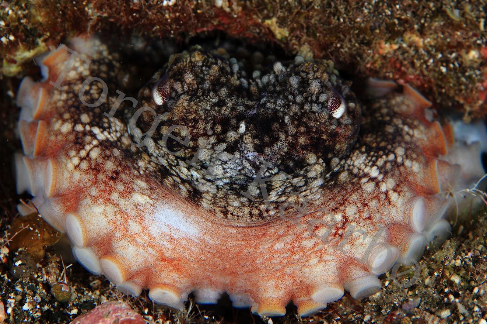 blekksprut i norge