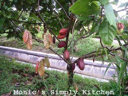 Pohon Coklat awal Proses Pengolahan Coklat