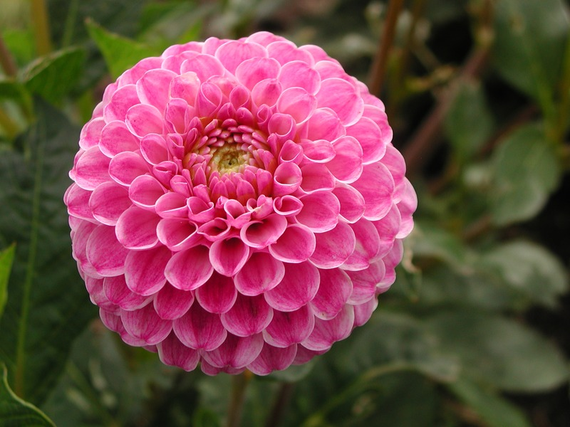 Flowers For Flower Lovers Dahlia Pictures