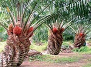 persiapanan-panen-kelapa-sawit.jpg