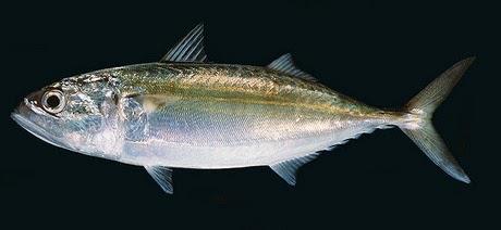 Alumahan (Indian mackerel)