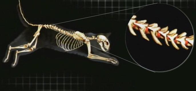 Gatos y Gatunos: Esqueleto y músculos de los gatos