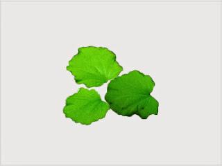 gambar-Cardamine-Lyrata-Tanaman-Stem-Aquascape