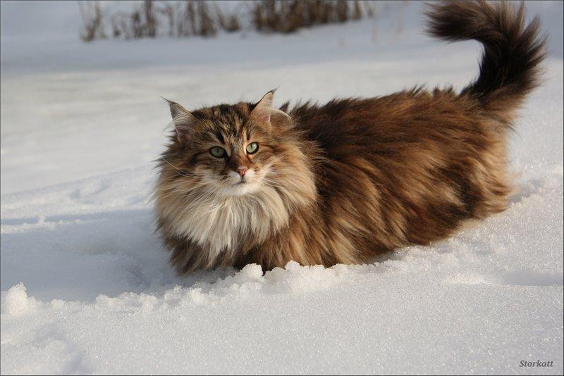 Самые красивые коты мира