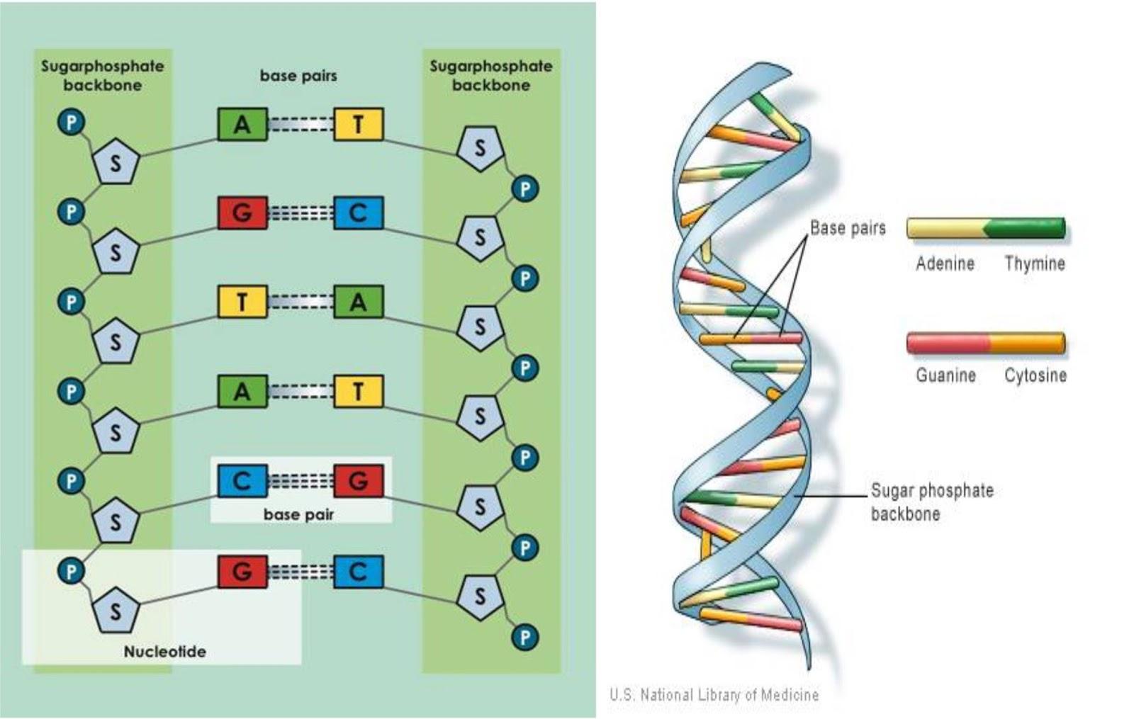 Pengertian struktur fungsi dan replikasi dna ilmu pengetahuan struktur dna ccuart Images