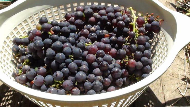 ∞ Grapes ∞