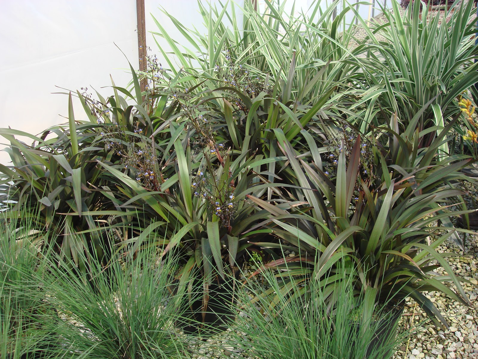 Dianella LITTLE BECCA™ | Tuffy Plant Collection™