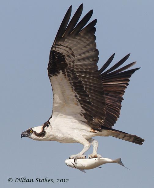 STOKES BIRDING BLOG: Birds In Flight Photography Tips