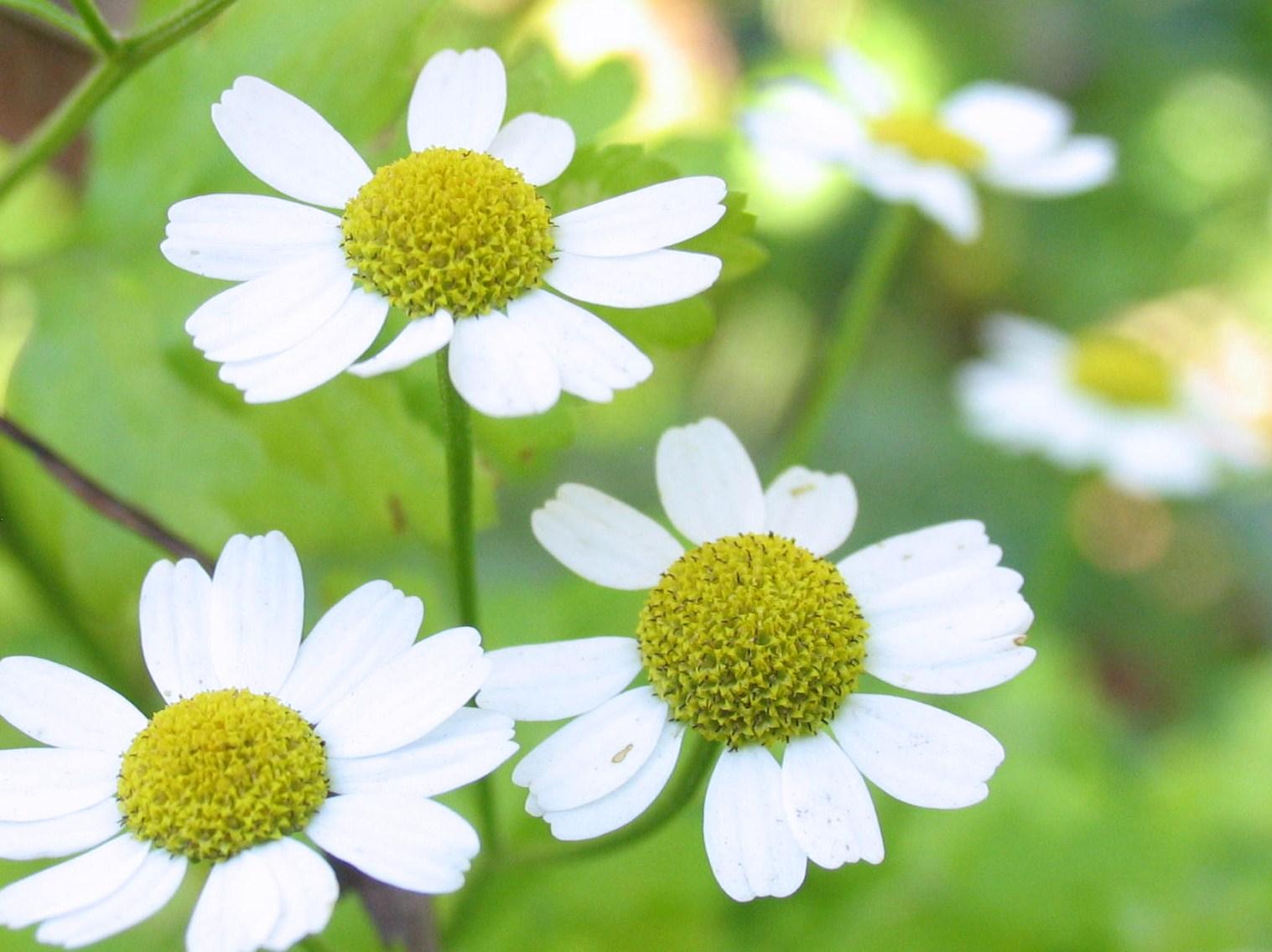 vit och gul blomma namn