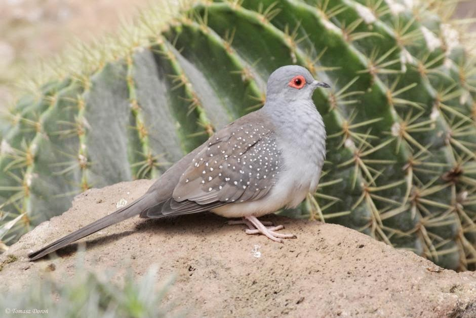 Diamond dove Geopelia cuneata