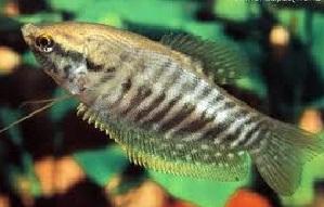 cara budidaya ikan,artikel budidaya ikan sepat siam,sepat siam,terbesar,klasifikasi ikan sepat siam,umpan ikan sepat siam yg jitu,contoh umpan ikan sepat siam,mancing,sepat di kolam terpal,