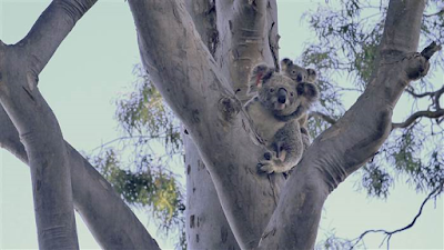 baby koala Phantom and mother returned  to wild