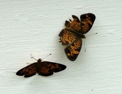 raggedy checkerspot