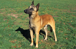 Belgian Malinois dog