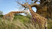Guardado en: Animales (animales salvajes girafas )