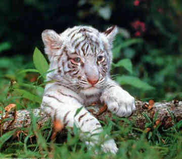 White Tiger Origanaly India