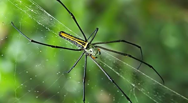 Ilmuwan Ubah Benang Laba-laba Jadi Senar Biola