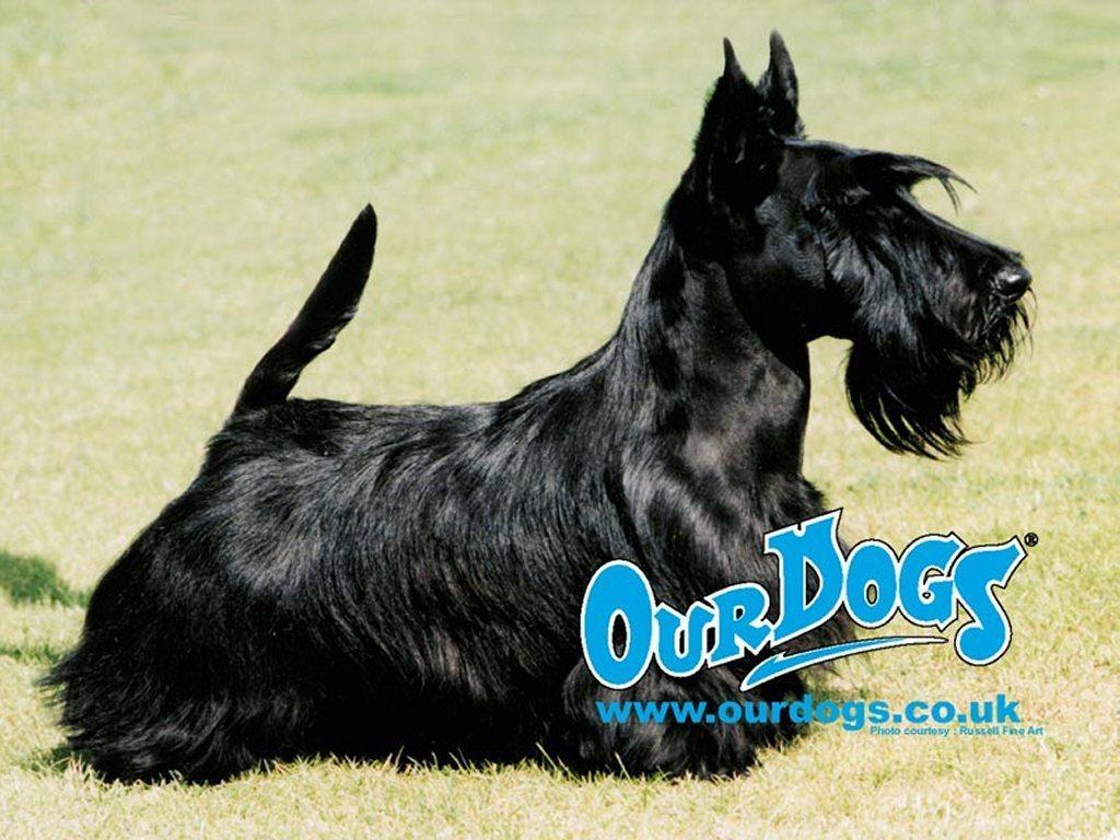 http://1.bp.blogspot.com/-AhS7QlbXrS4/Th8b7mEtX6I/AAAAAAAAAGc/ahdU1w75IB0/s1600/Terrier+Dogs+Wallpapers+5.jpg