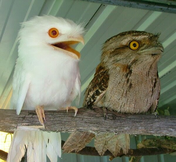 Funny animals of the week - 21 March 2014 (40 pics), funny animal pictures, albino potoo