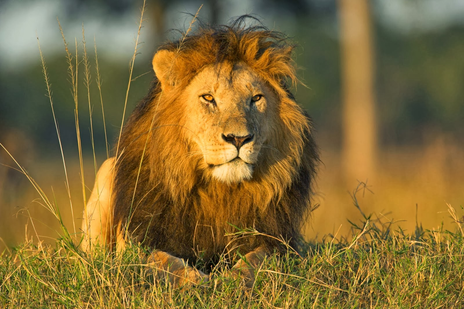 Best Wallpaper Lion Facebook - lion+wallpapers+hd+(8)  Gallery_45575.jpg