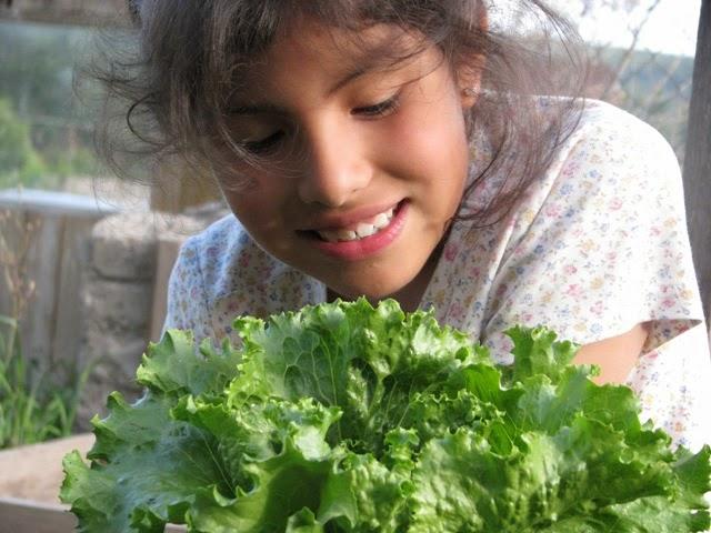 Como plantar lechuga