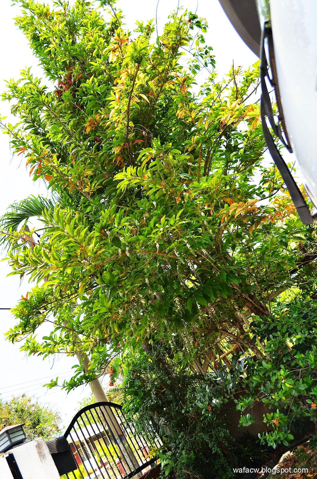 Citharexylum spinosum Atau Bunga Mayang Sari