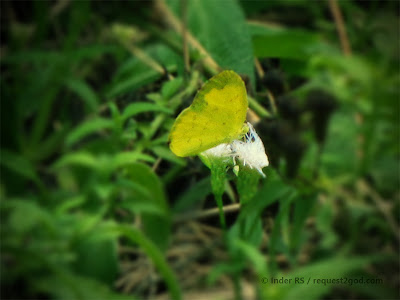 Small Grass Yellow butterfly also known as Broad-bordered Grass Yellow or Eurema brigitta
