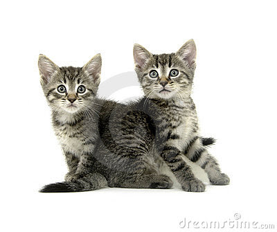 Cute-Silver-Tabby-Kittens