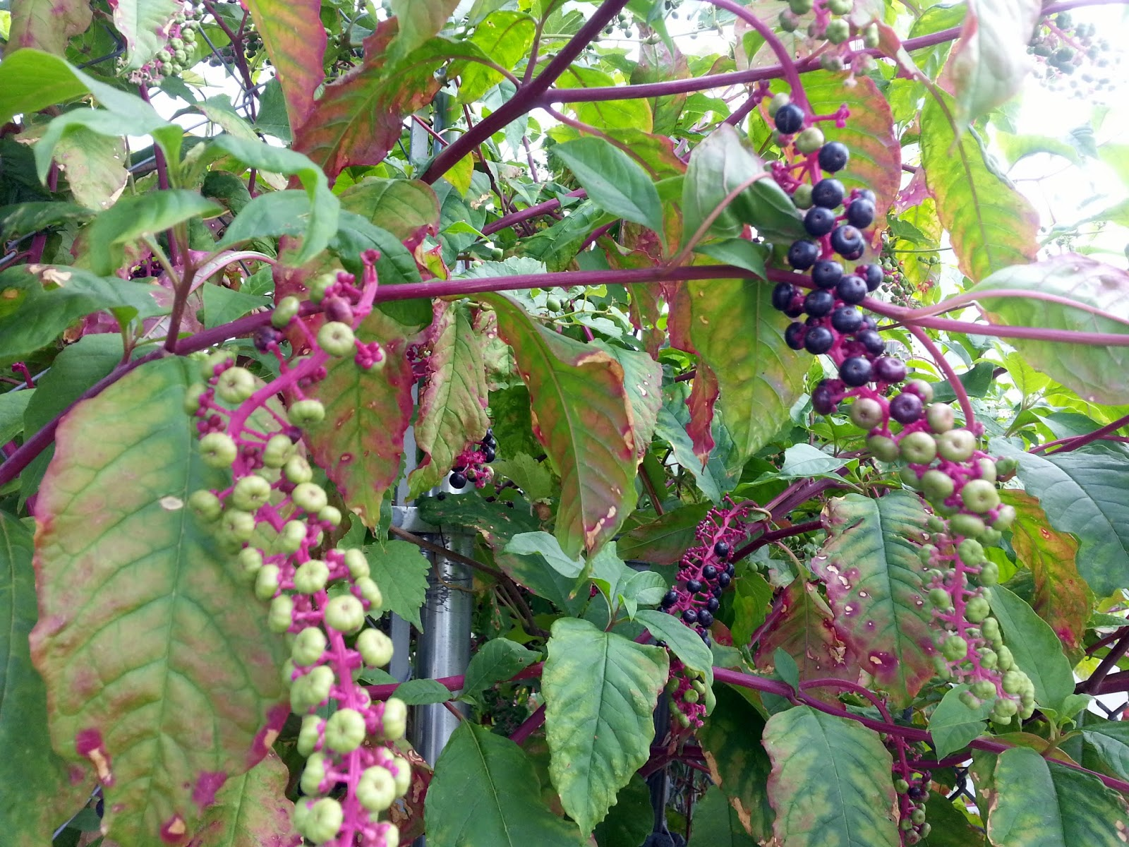 Ben's Journal: Name that Plant: Red Stems with Clusters of ...