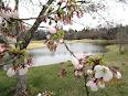 昨年のソメイヨシノ開花は4月17日です