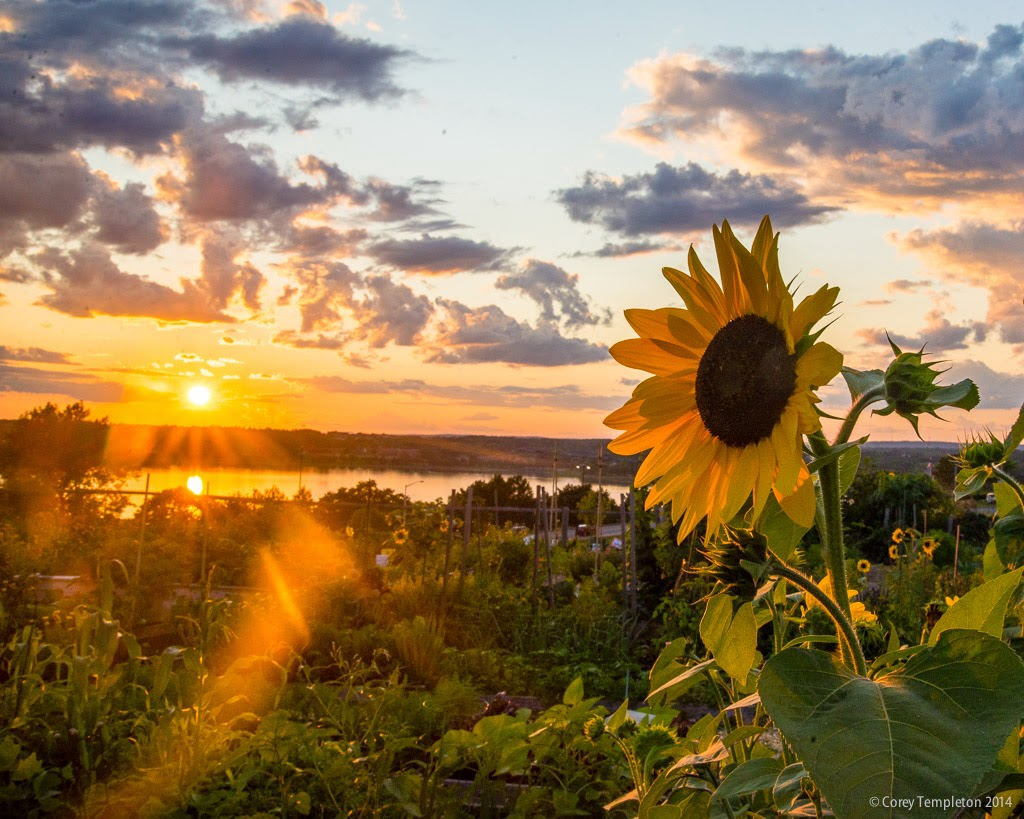 Portland, Maine Summer August 2014 Sunflower At Sunset At The North Street  Community Garden On