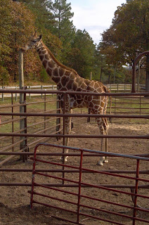 2 year old giraffe named stretch