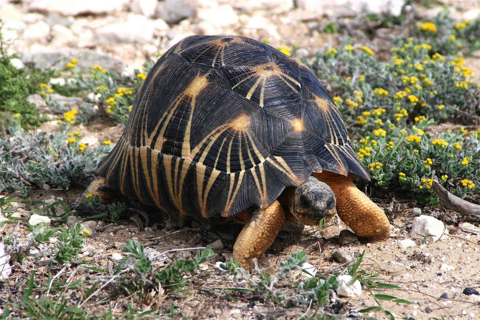 Animal wildlife radiated tortoise the radiated tortoise is a