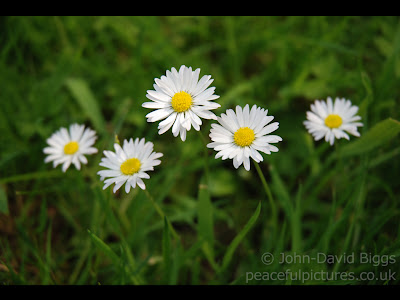 five daisies against green grass
