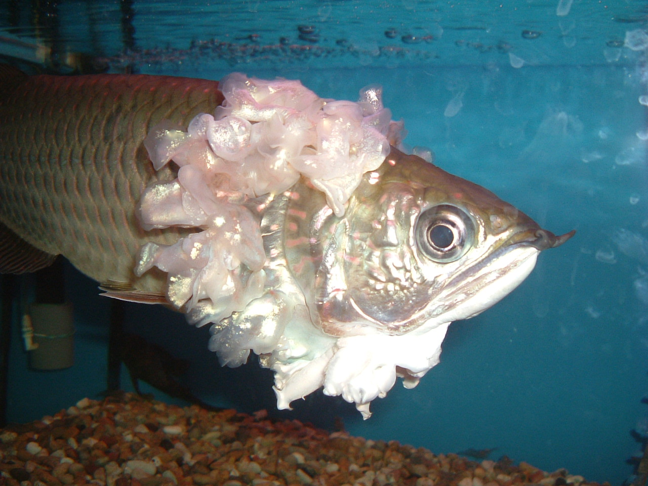 Freshwater aquarium fish lifespan - Arowana Fish Are Freshwater Bony Fish Of The Family Osteoglossidae Also Known As Bonytongues In This Family Of Fish The Head Is Bony And The Elongate