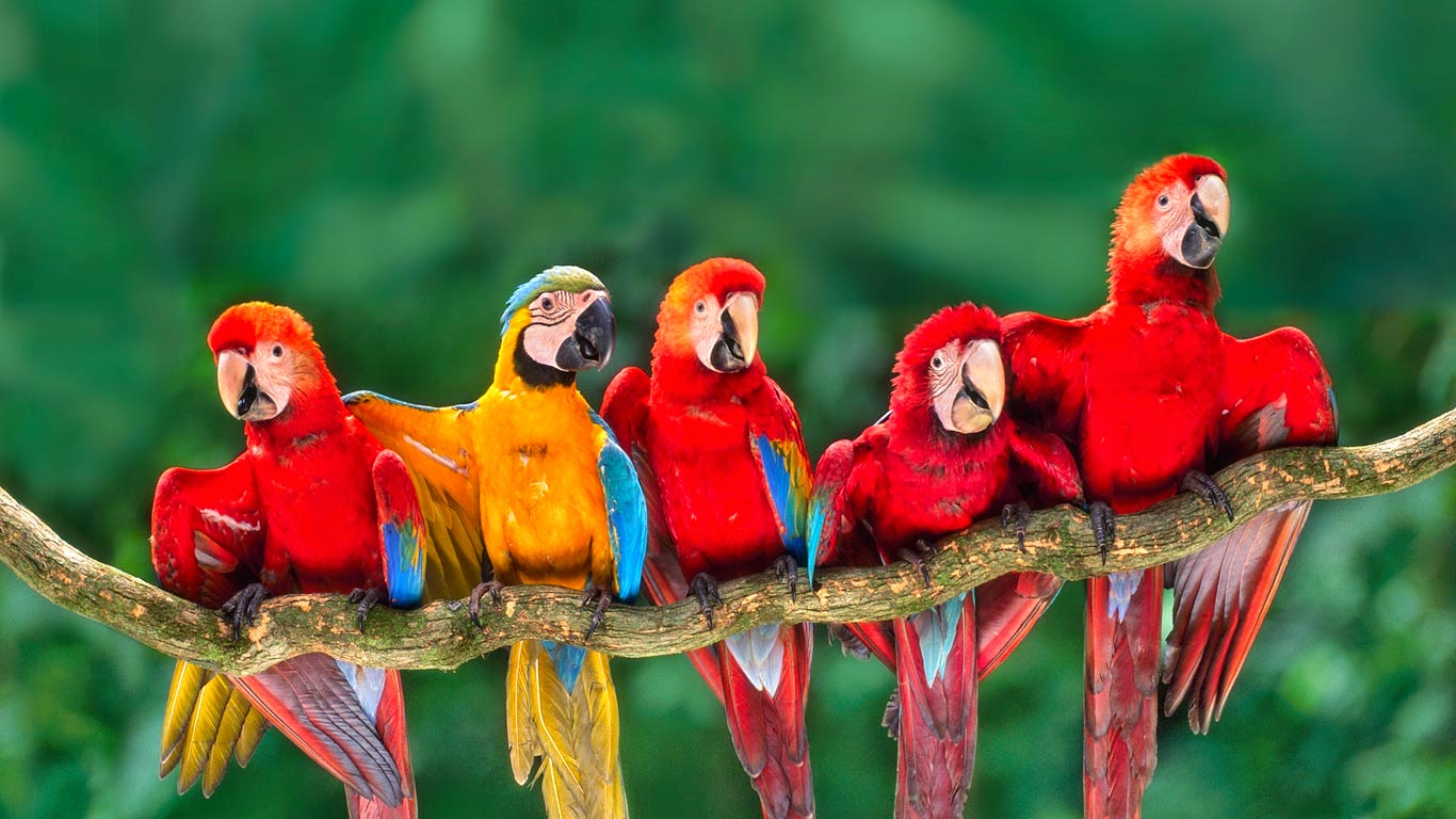 Macaws, Tambopata National Reserve, Peru (© Frans Lanting/Getty Images) 61