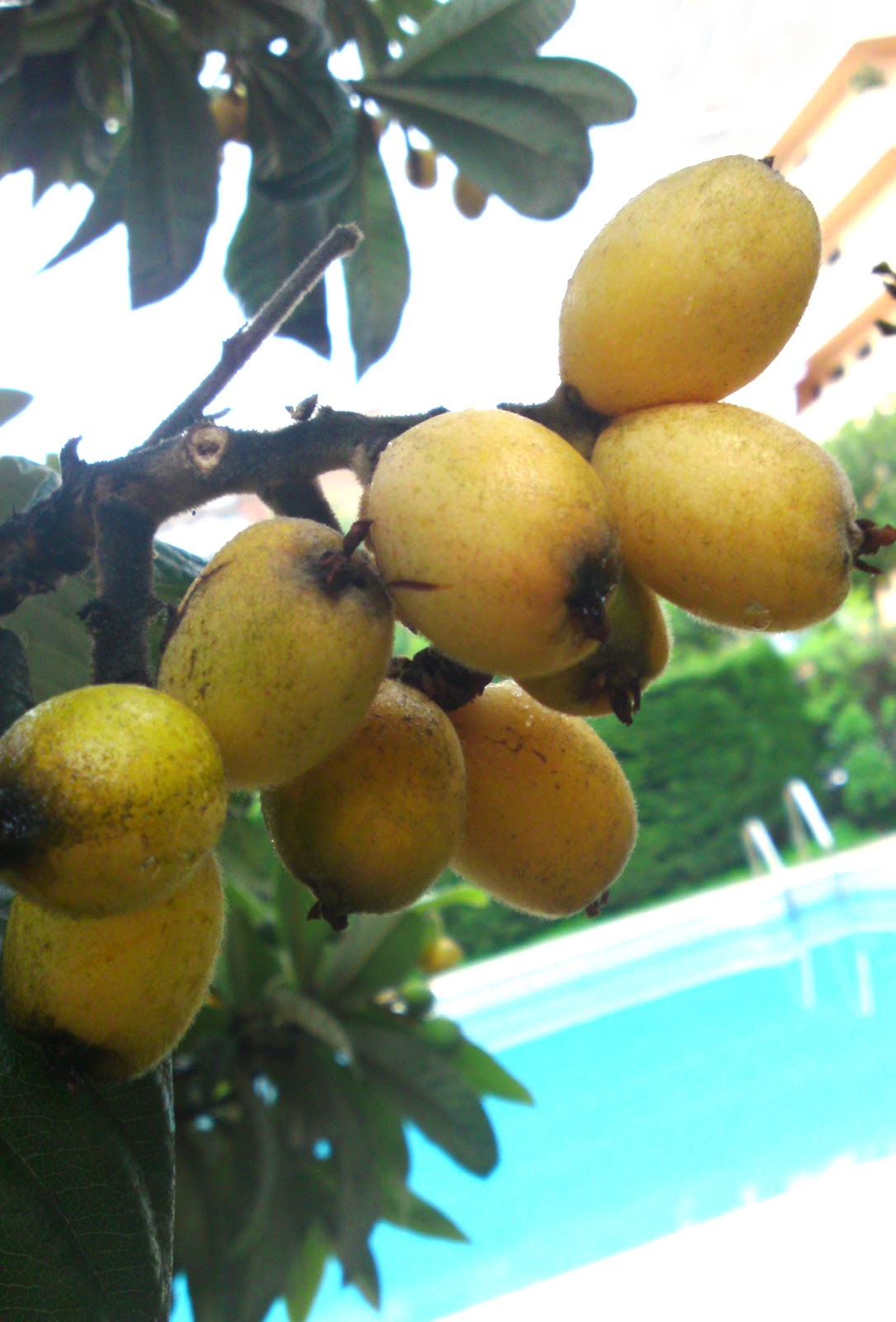 loquat fruit fruit in spanish